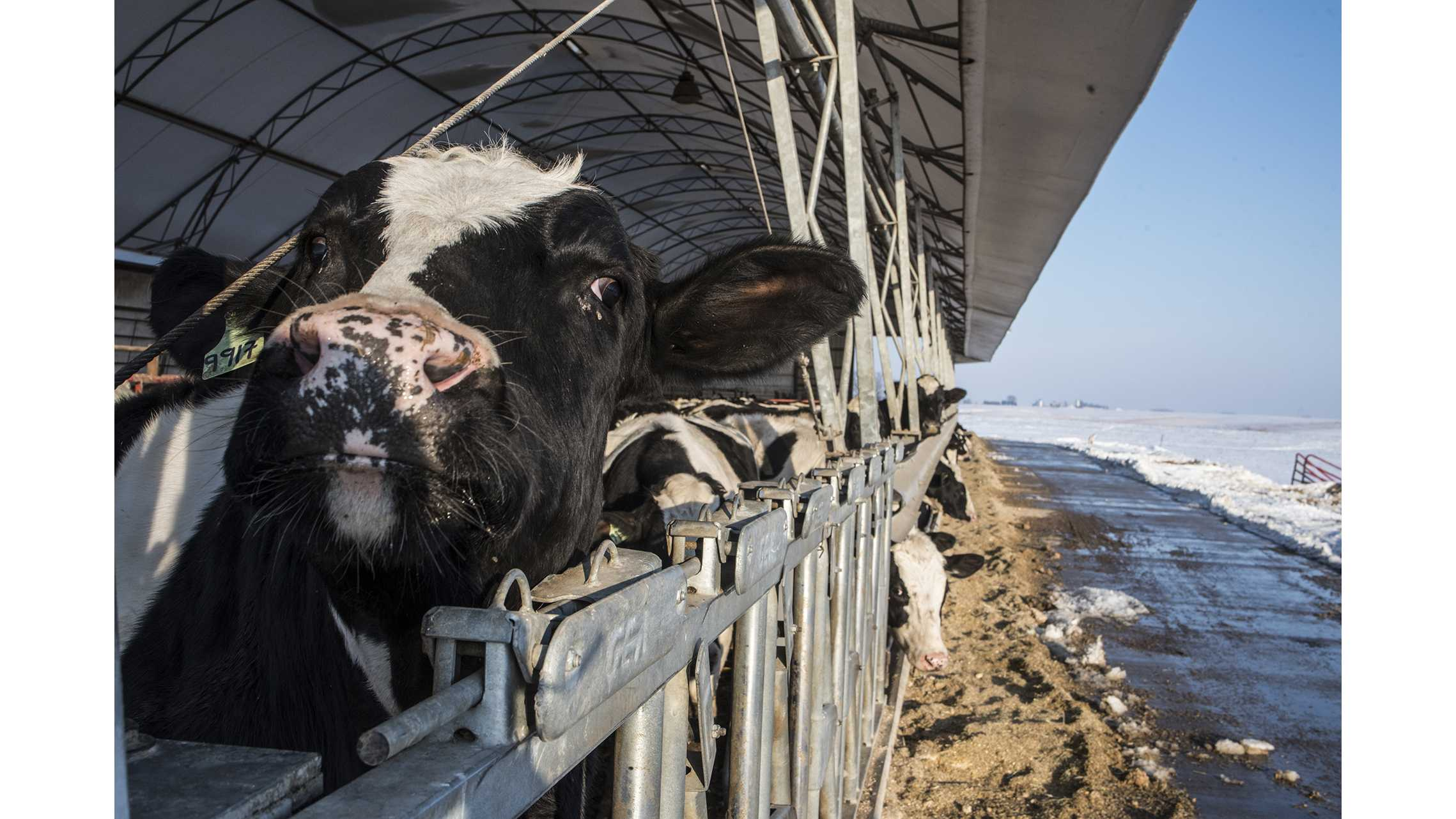 Cows are seen at the Blomme family farm in Ladora, Iowa on Tuesday, Feb. 13, 2018. The farm, which produces corn, soybeans, pork, and beef, has been in the family for over 80 years. (Ben Allan Smith/The Daily Iowan)