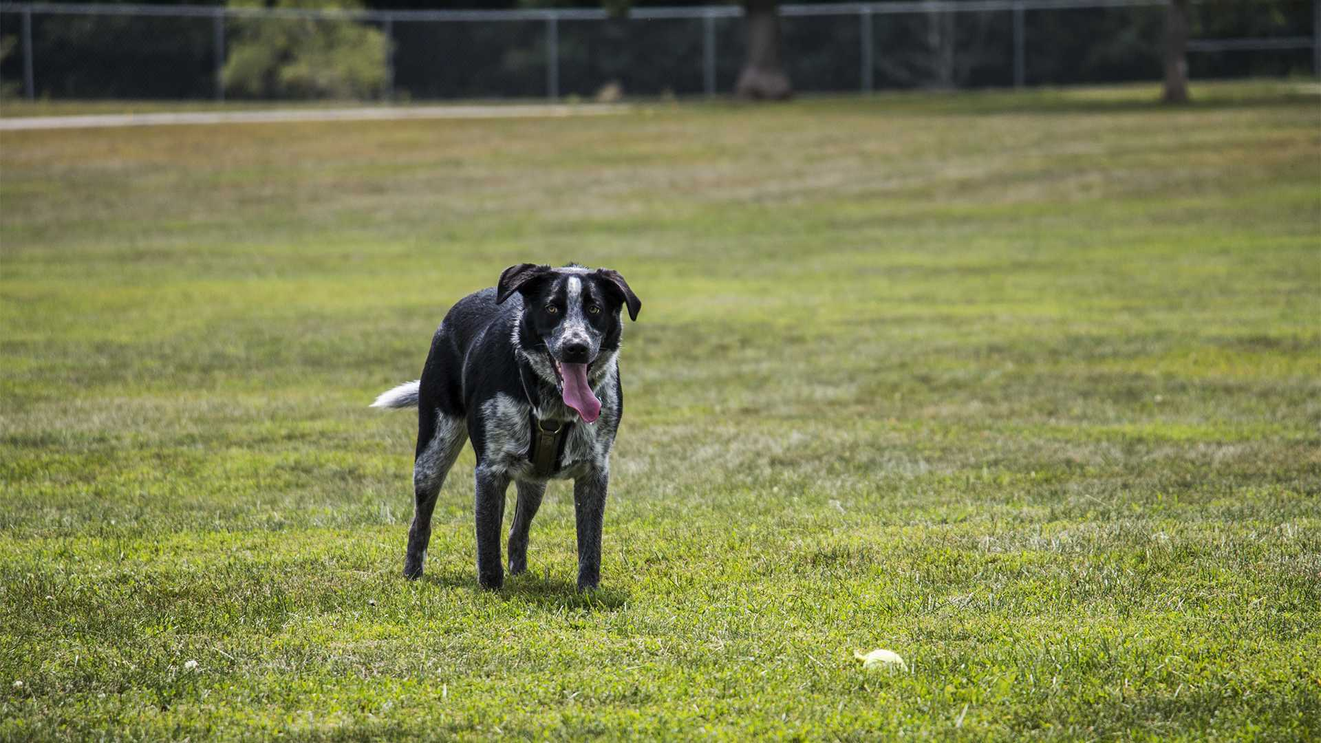 A dog plays with a tennis ball at Thronberry Off-leash Dog Park on Aug. 1, 2018. (Katina Zentz/The Daily Iowan)