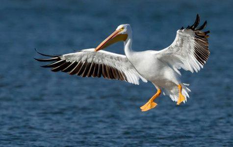 Pelicans take a brief