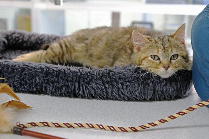 A+kitten+relaxes+in+its+bed+at+the+Iowa+City+Animal+Care+and+Adoption+Center+on+Tuesday%2C+March+8%2C+2016.+The+center+has+a+new+program+on+Thursday+nights+that+allows+kids+to+read+to+the+cats+for+volunteering+experience+and+gives+the+cats+a+chance+to+socialize+with+people.+%28The+Daily+Iowan%2FTawny+Schmit%29