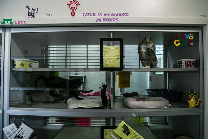 Cats play in their compartments at The Iowa City Animal Care and Adoption Center on Monday, Aug. 1, 2016. Iowa City Animal Care and Adoption Center was able to successfully pay off the facility ahead of schedule thanks in part to the help of donors.  (The Daily Iowan/Anthony Vazquez)
