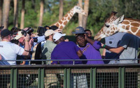 Maintaining football focus while feeding giraffes
