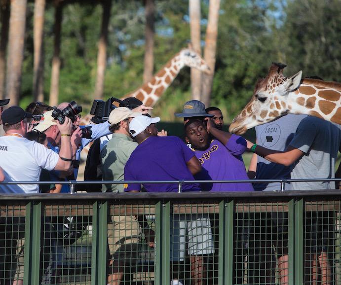Maintaining+football+focus+while+feeding+giraffes