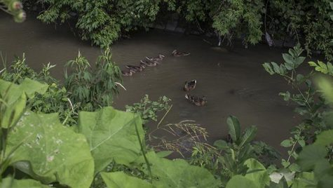 FILE - In this file photo, ducks float in Ralston Creek behind New Pioneer Co-Op in Iowa City on July 12, 2016. (Joseph Cress/The Daily Iowan)