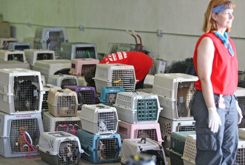 Hundreds of neglected dogs from a puppy mill in Montague County were relocated to a warehouse in the Stockyards in Fort Worth, Texas, Tuesday July 7, 2009.  (Ron Jenkins/Fort Worth Star-Telegram/MCT)