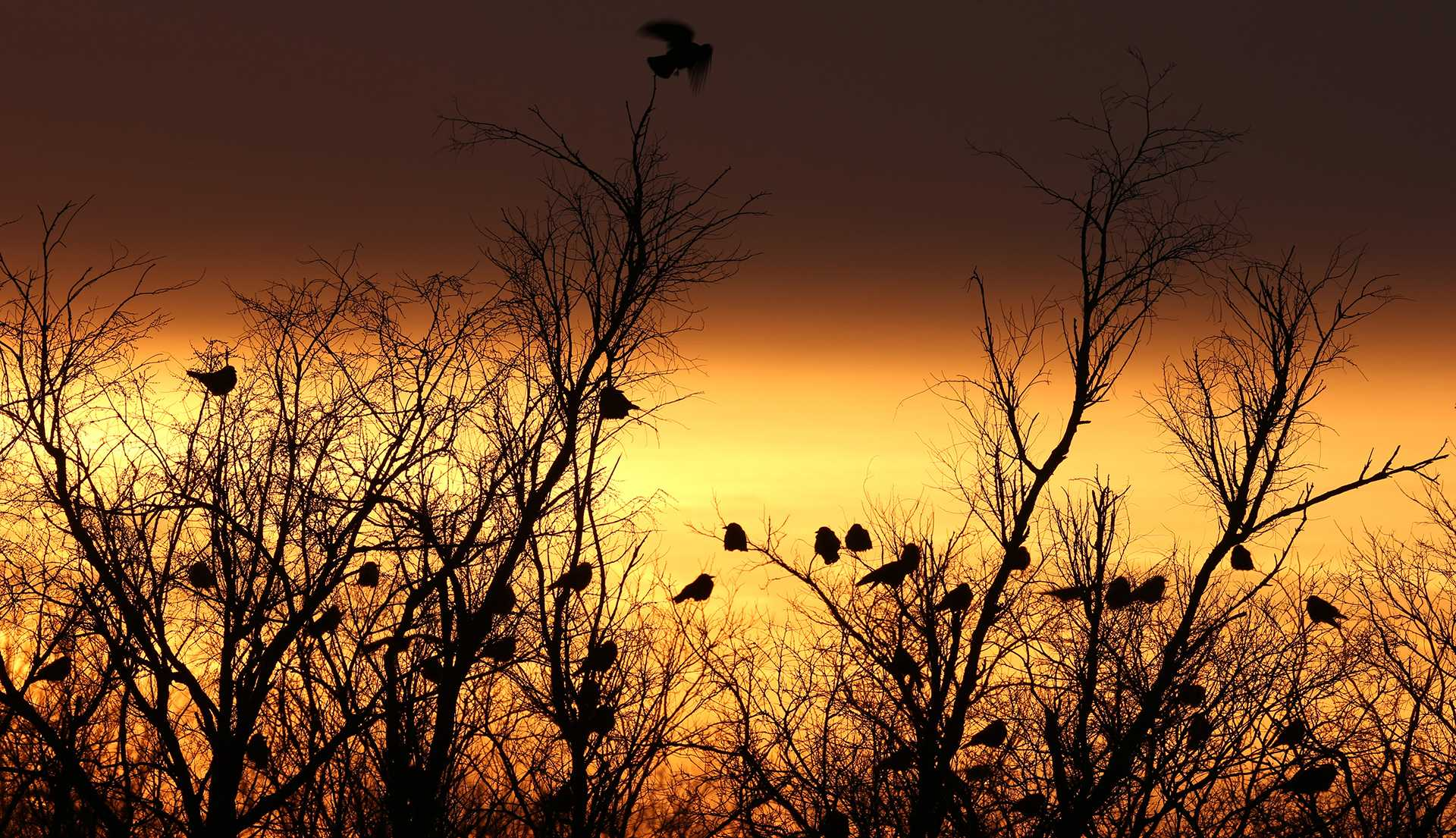 Crows flock along the Vermillion River in Danville, Illinois, January 24, 2013. (E. Jason Wambsgans/Chicago Tribune/MCT)