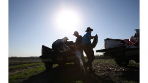Jon Bakehouse, right, and his father Bach Bakehouse, center, pick up a few bags of a new type of soybean during planting season on April 29,  2015 in Hastings, Iowa. (Abel Uribe/Chicago Tribune/TNS)