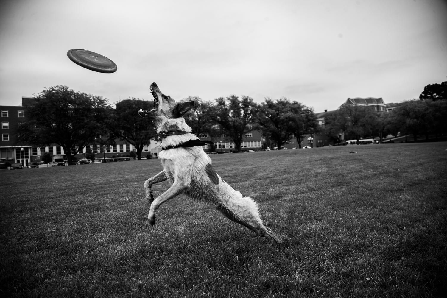 Apollo+catches+a+frisbee+thrown+by+Jennifer+McCarron+in+Hubbard+Park+on+Tuesday%2C+Oct.+2%2C+2018.+McCarron+brings+Apollo+to+Hubbard+Park+because+it%27s+on+campus+and+a+good+excuse+to+get+outside.+