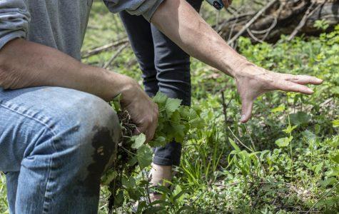 Volunteers fight invasive garlic mustard