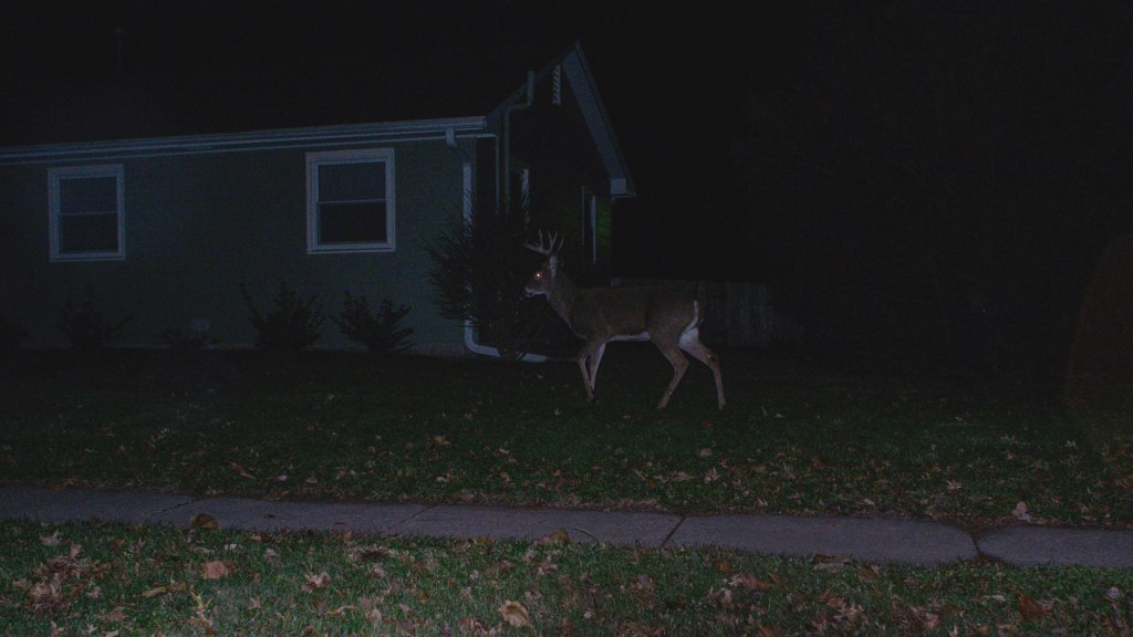 A deer strolls around a yard in Iowa City in Noember 2017.
