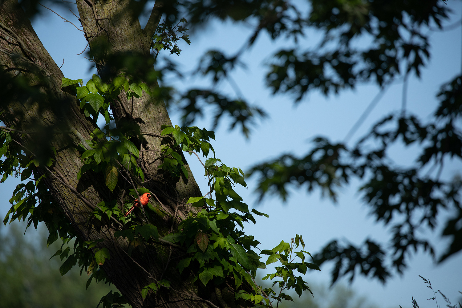 A+cardinal+perches+in+a+tree+in+a+tributary+of+the+Iowa+River+south+of+Riverside%2C+Iowa+on+June+13%2C+2019.+