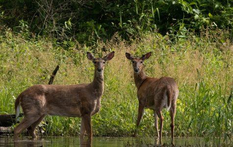 Deer-management program to allow sharpshooting in Iowa City parks to decrease deer population