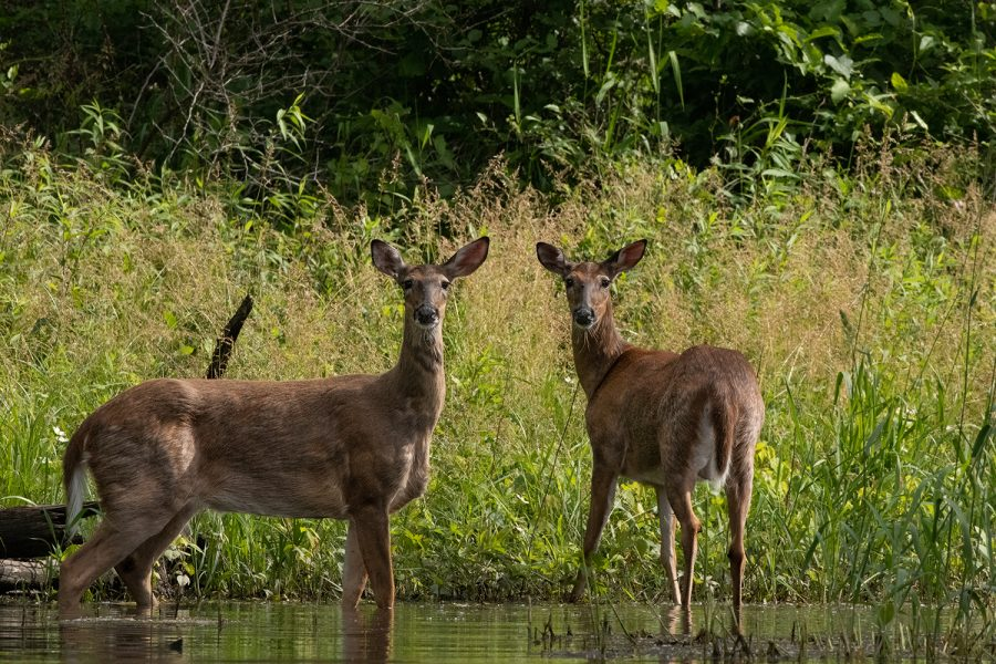 A pair of deer stand along the riverbank of the Iowa River north of Iowa City on June 11, 2019.