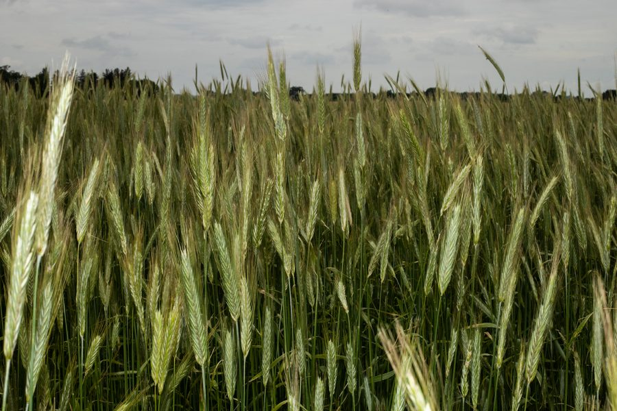 The+numerous+blades+of+wheat+in+one+of+Dick+Sloan%E2%80%99s+many+farm+fields+is+seen+on+the+morning+of+June+18%2C+2019.+Sloan+utilizes+no-till%2C+cover+crops%2C+and+prairie+strips+as+practices+to+reduce+nutrient+runoff+and+soil+erosion.+