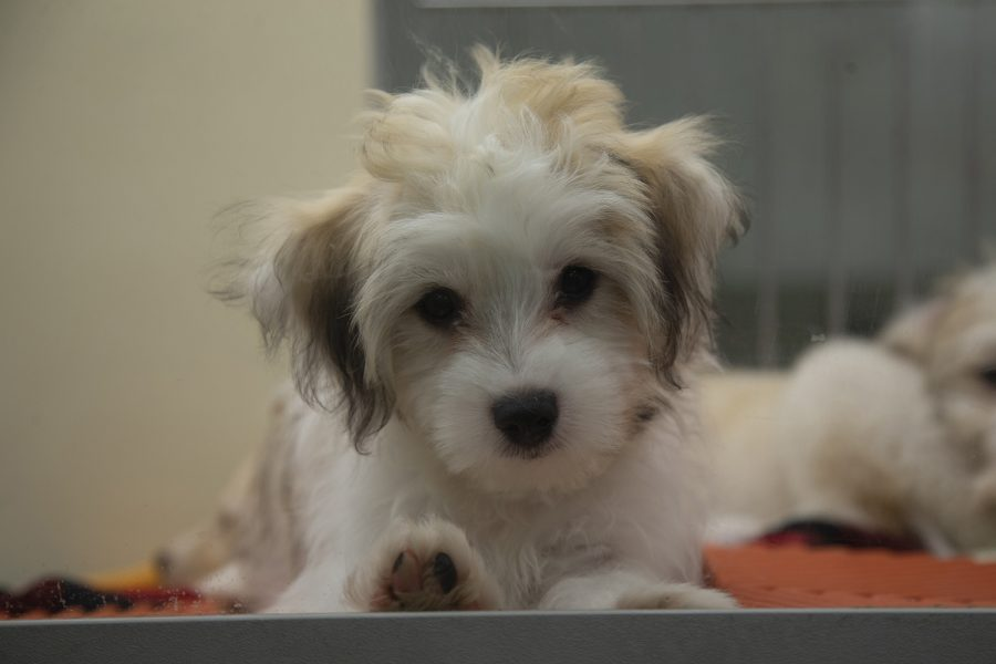 A+puppy+looks+through+the+window+of+its+kennel+at+Petland+in+Iowa+City+on+Wednesday%2C+Sept.+25%2C+2019.+Iowa%E2%80%99s+Secretary+of+Agriculture%2C+Mike+Naig%2C+proposed+new+rules+that+would+improve+living+conditions+for+domestic+animals.