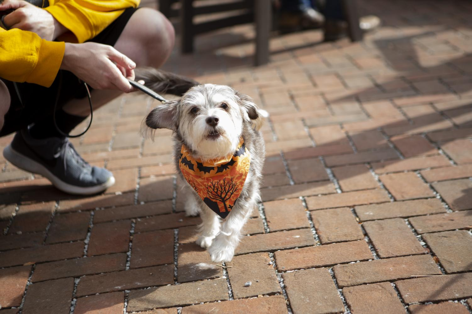 A dog displays Halloween spirit at Wag-O-Ween. Wag-O-Ween was hosted by Last Hope Animal Rescue and was held at Big Grove Brewery on Sunday, October 20, 2019. (Nichole Harris/The Daily Iowan)