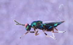 Parasitic wasp species seen taking control of several hosts with 'particularly grim' behaviors