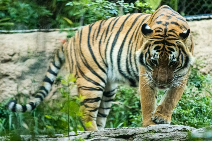 A+Malayan+Tiger+roams+his+area+at+the+San+Diego+Zoo+in+San+Diego+on+Wednesday%2C+Dec.+25%2C+2019.