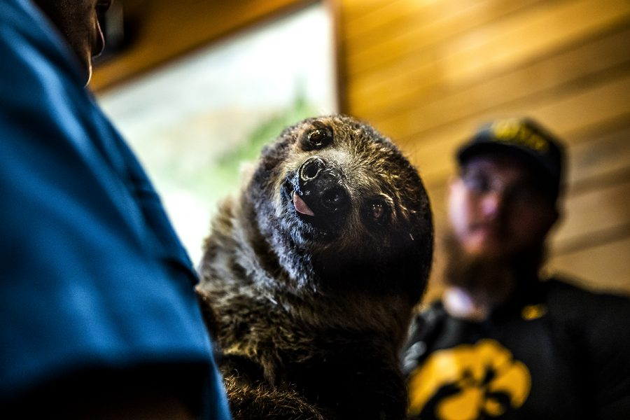 Zena, a two-toed sloth, sticks out her tongue during Iowa's tour of the San Diego Zoo on Wednesday, December 25, 2019. The Hawkeyes met a few animals and then toured the exhibits.