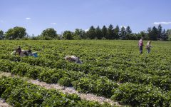 Visitors pick strawberries on Thursday, June 25, 2020 at Wilson's Orchard and Farm. For the first time, the orchard is open in the summer season for strawberry picking and plans to continue offering other, pre-picked berries until the fall.