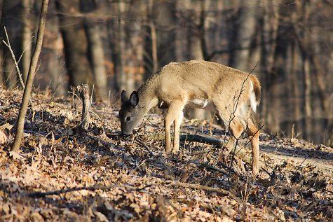 Deer feeding at Lake MacBride. As seen on Jan 1,2020