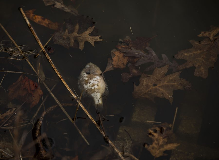 Dead fish can be seen floating in the ponds at City Park on Wednesday,March 24, 2021. The fish kills are believed to be from the harsh winter weather.