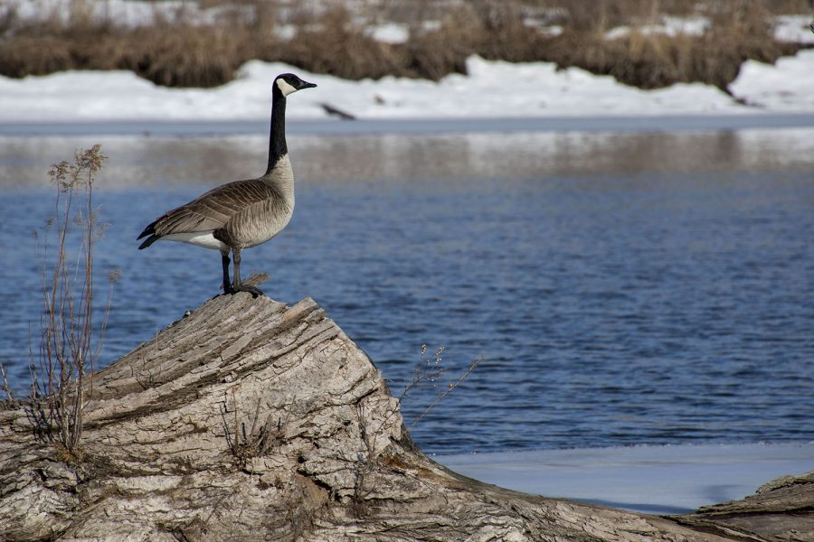 Geese take advantage of the sunshine just above the Iowa River Power Dam on March,1 2021.