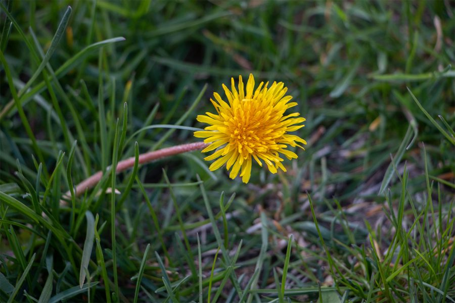 Dandelions are seen on April 21, 2021.