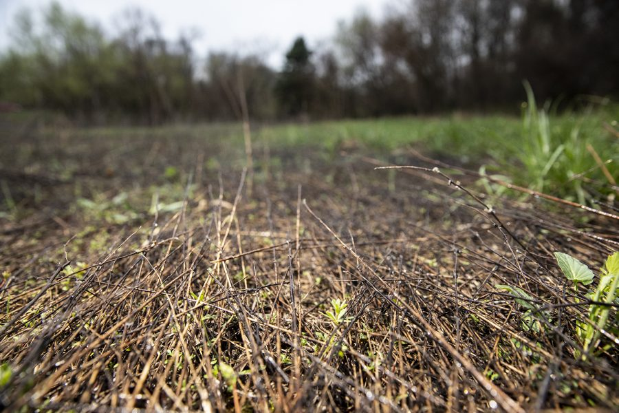 Areas where prescribed burns have taken place are seen at Hickory Hill Park on Friday, April 9, 2021. Prescribed burns are conducted to promote the health of an ecosystem, dampening the effect of invasive species while allowing native species a better habitat to grow in.