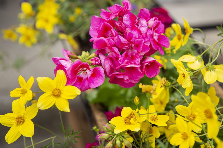 Newly planted flowers are seen outside of Nodo Downtown in Iowa City on Thursday, May 6, 2021.