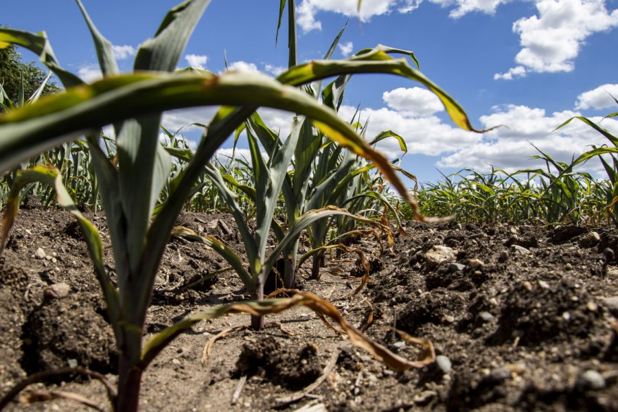 Corn leaves turning brown due to lack of rain on Monday, June, 21, 2021. A field planted with corn start showing the effects of lack of rain fall. The leaves are turning brown, and the stalks are short.(Jeff Sigmund/Daily Iowan)