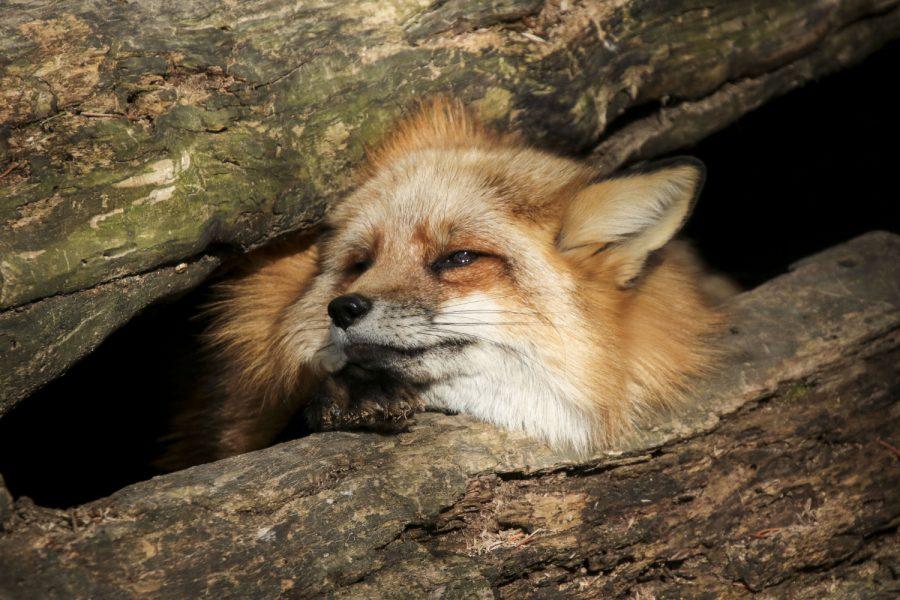 A fox enjoys the warm sun on April 13, 2019.