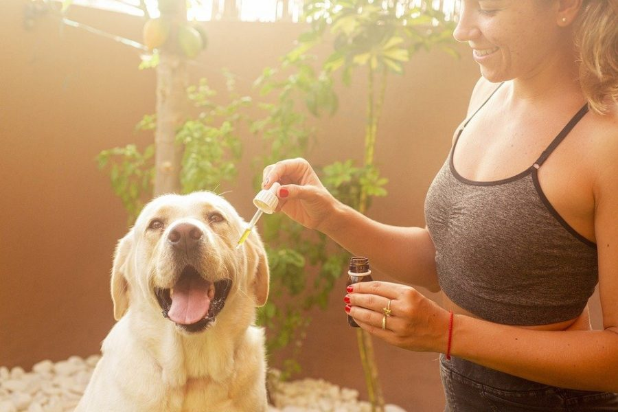 How to Choose CBD Oil For Dogs