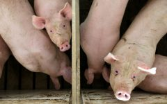 Hogs occupy pens at a confinement facility in Ayrshire, Iowa, in this file photo.