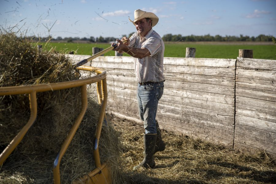 Steve Swenka moves hay with a pitchfork at Double G Angus Farms in Tiffin on Tuesday, Oct. 12, 2021. Swenka said the hay gets blown around and needs to be reorganized.