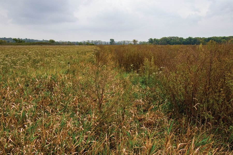 A split field in the Iowa River Corridor project on Thursday, Oct. 7, 2021. Reed canary grass which is an invasive species can be seen on the left, while native species to Iowa Wetlands flourish on the right after removal of the reed canary grass.