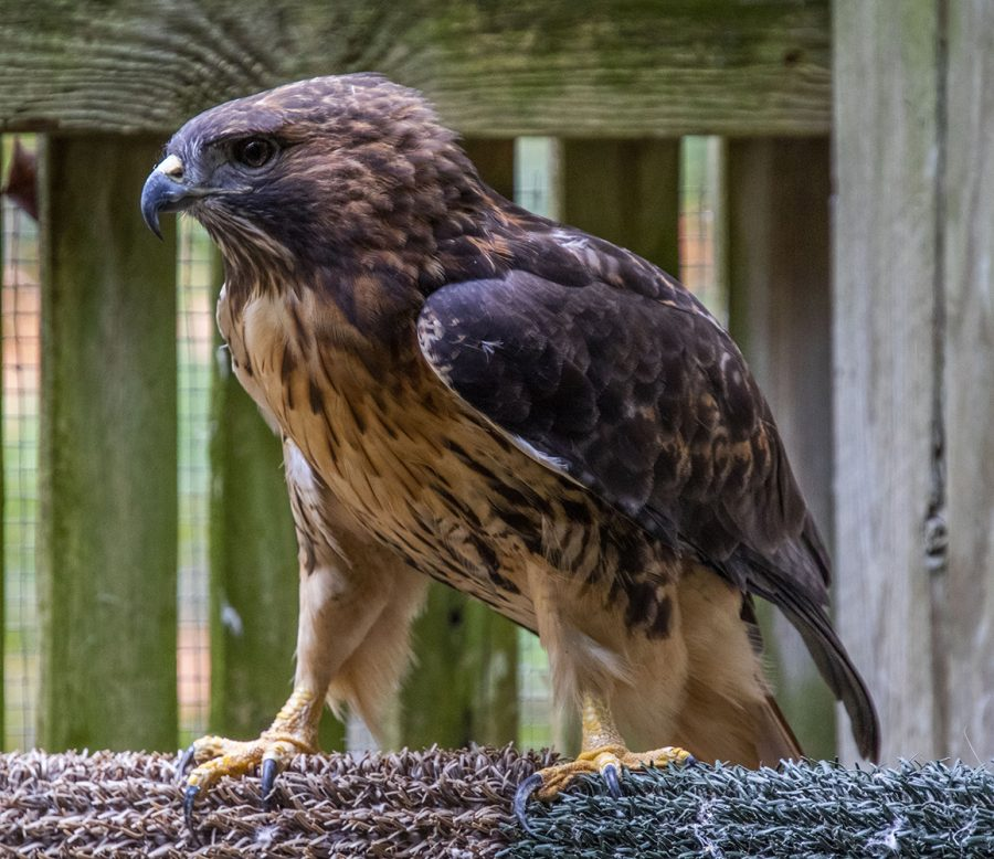 A red-tailed hawk rests at the Iowa Raptor Project on Tuesday, Oct. 5, 2021.
