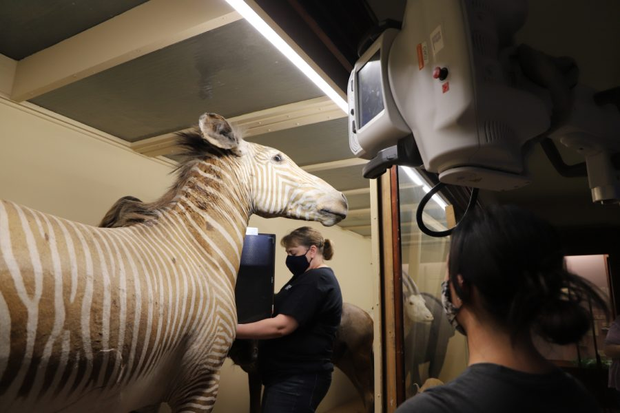 Departments join forces for zebra X-ray
